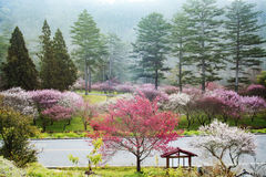 Annual cherry blossom, attracting a large number of tourists Stock Photo