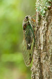 Annual cicada on tree Stock Photos