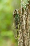 Annual cicada on tree. Tibicen canicularis annual cicada resting on tree in North Georgia Stock Photos