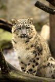 Annual cub snow leopard, Uncia uncia, portrait. Royalty Free Stock Image