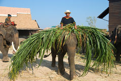 The annual elephant roundup in Surin 2010. SURIN - NOVEMBER 21: Small elephant carrying fodder during the Annual Elephant Roundup on November 21, 2010 in Surin Royalty Free Stock Images