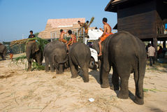 The Annual Elephant Roundup in Surin, Thailand. SURIN - NOVEMBER 21: Elephant picking up fodder from a truck during the Annual Elephant Roundup on November 21 Stock Photography