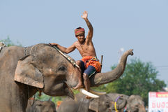 The Annual Elephant Roundup in Surin, Thailand. SURIN - NOVEMBER 21: Mahout riding on the trunk of his elephant during The Annual Elephant Roundup on November 21 Stock Photo