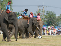 The Annual Elephant Roundup in Surin, Thailand. SURIN - NOVEMBER 21: Elephants playing football during The Annual Elephant Roundup on November 21, 2010 in Surin Royalty Free Stock Photo