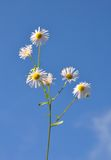 Annual fleabane (Erigeron annuus) Stock Photography
