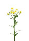 Annual fleabane (Erigeron annuus) Stock Images