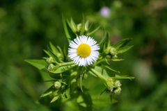 Annual fleabane or Erigeron annuus plant with single blooming flower surrounded with multiple closed flower buds royalty free stock image