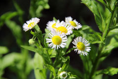 Annual Fleabane Herb. Also known as Daisy fleabane and Tall Fleabane, have little flowers with white petals and yellow pistil center Royalty Free Stock Photo