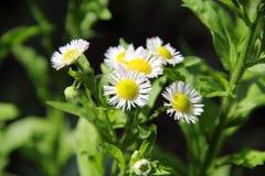 Annual Fleabane Herb Royalty Free Stock Photo