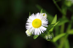 Annual Fleabane Herb. Also known as Daisy fleabane and Tall Fleabane, have little flowers with white petals and yellow pistil center Stock Photo