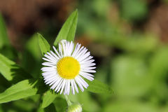 Annual Fleabane Herb. Also known as Daisy fleabane and Tall Fleabane, have little flowers with white petals and yellow pistil center Royalty Free Stock Image