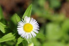 Annual Fleabane Herb Royalty Free Stock Image