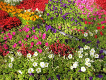 Annual flowers. Blooming of annual flowers on flowerbed. Petunia, marigold, begonia stock photo