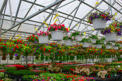Hanging baskets of flowers for sale in greenhouse Stock Photo