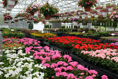Annual flowers for sale in greenhouse 1 Stock Photos