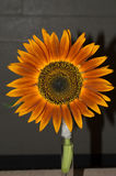 Red Sunflower Heirloom. Annual. Gorgeous 4` - 6` sunset-hued flowers with dark centers bloom in abundance over a long bloom period to keep your garden alight stock photos