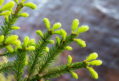 Annual growth of the spruce Stock Photo