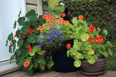 Annual Lobelia and Nasturtiums Royalty Free Stock Photo