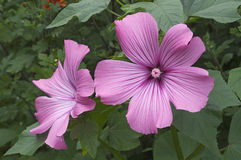 Annual mallow flowers Royalty Free Stock Photos