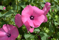 Annual mallow (Lavatera trimestris). Beautiful pink flowers of Annual mallow. Also know as rose mallow, royal mallow and regal mallow Royalty Free Stock Photo