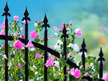 Annual Mallow (Lavatera trimestris) Stock Photos