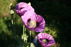 Annual mauve poppy. Annual Mauve coloured Poppy. Papava Somniferum. Opium Poppy. Oriental Poppy Stock Image