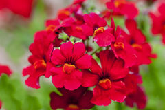 Annual Nemesia Stock Photos