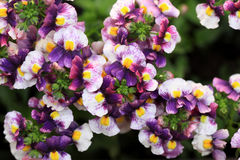 The annual Nemesia Strumosa flowers Royalty Free Stock Photos