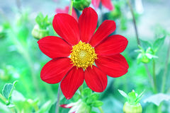 Red Flower Dahlia Yellow Center Stock Images Download 208 Royalty