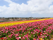 Annual spring flower fields at Carlsbad shopping outlet. Royalty Free Stock Image