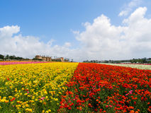 Annual spring flower fields at Carlsbad shopping outlet. Royalty Free Stock Images
