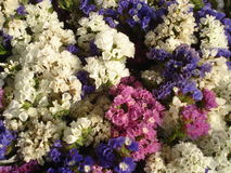 Annual statice (limonium). The annual statice (limonium) is a hardy flowering plant suitable for gardens, containers, groundcover, but also used in dried flowers Stock Photography