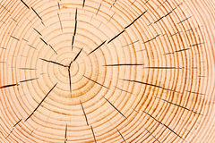 Annual tree rings, fine texture Royalty Free Stock Image
