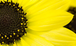 Annual Yellow sunflower Royalty Free Stock Images