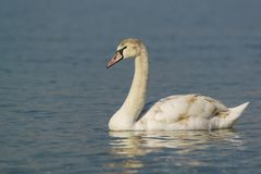 Annual young mute Swan lat. Cygnus olor is a bird of the duck family on the water Royalty Free Stock Photography
