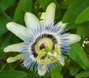 Annuale duraturo di Florida del fiore dispari dell'iride immagini stock