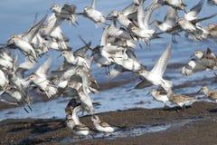 Sanderling Flock in the Spring Stock Images