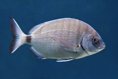 Annular sea bream (Diplodus annularis) Stock Image