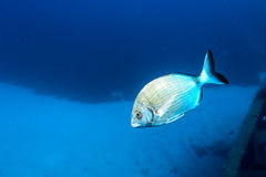 Annular Sea Bream Diplodus annularis Stock Image