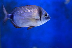Annular seabream Royalty Free Stock Images