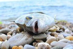 Annularis Μαύρης Θάλασσας Diplodus στην ακτή Στοκ Εικόνες