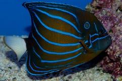 Annularis Angelfish Royalty Free Stock Photo