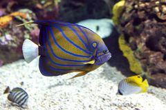 Annularis Angelfish Pomacanthus annularis , coral fish,. Close up royalty free stock photo