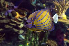 Annularis Angelfish Pomacanthus annularis , coral fish,. Close up stock images