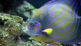 Annularis Angelfish (Pomacanthus annularis) Royalty Free Stock Image