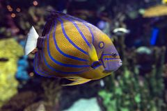 Annularis Angelfish Pomacanthus annularis , coral fish,. Close up stock photography
