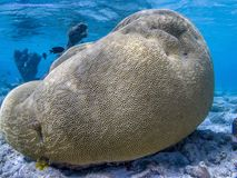 Annularis de Montastraea, généralement connus sous le nom de corail d'étoile de rocher Photos stock