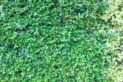 Annulata δέντρων ή Ficus Banyan ή bengalensis ficus Στοκ Φωτογραφία