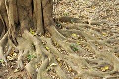 Annulata BL do Ficus da raiz. Fotos de Stock Royalty Free