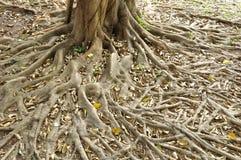 Annulata BL do Ficus da raiz. Imagens de Stock Royalty Free